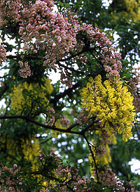 Laburnocytisus close up.jpg