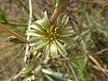 Lactuca saligna flor-1.jpg