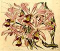 Laelia superbiens - Curtis' 70 (N.S. 17) pl. 4090 (1844).jpg