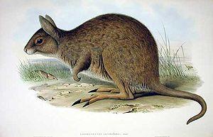 Eastern rabbit kangaroo (Lagorchestes leporides)