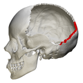 Lambdoid suture - skull - lateral view02.png