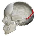 Lambdoid suture - skull - lateral view02.png
