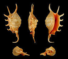 Five views of a shell of Lambis crocata