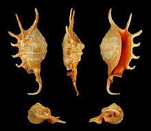 Lambis crocata - Wikipedia