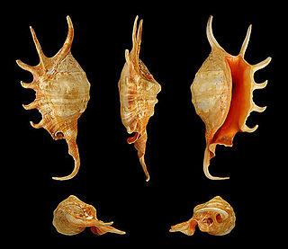 <i>Lambis</i> Genus of gastropods