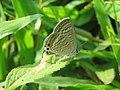 Lampides boeticus - Pea Blue at Aralam Wildlife sanctuary during Aralam butterfly survey 2020 (3).jpg