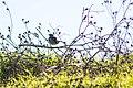 Lark sparrow (25831319103).jpg