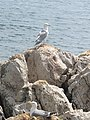 Larus michahellis (Saint-Honorat) 4.jpg