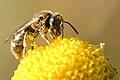 Lasioglossum.villosulum.-.lindsey.jpg