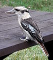 Laughing Kookaburra Table.JPG