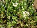 Lavatera acerifolia 1c.JPG