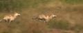 Le dernier loup - Les coulisses - l'entraînement des loups 3.png