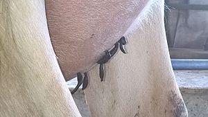 Hirudo medicinalis - treating mastitis with leech