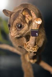 Leadbeaters possum species of mammal