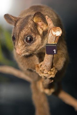 Leadbeater's possum - Taxidermy specimen