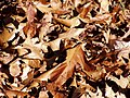 Leaf litter PB230031.jpg