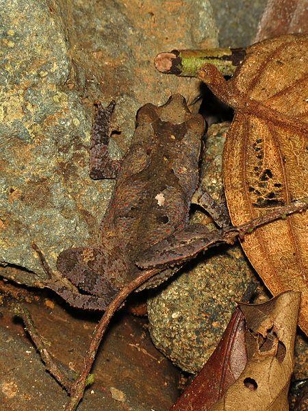 File:Leaflitter Toad - Flickr - treegrow (2).jpg