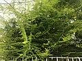 Leaves of Asparagus setaceus 20200525.jpg