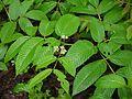 Leea asiatica (3710437360).jpg