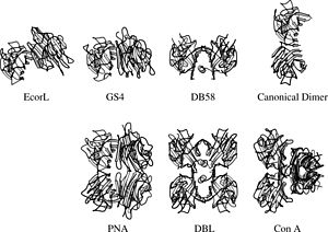Legume lectin - Quaternary structures of some legume lectins. One of the subunits is in the same orientation in all structures for ease of comparison.