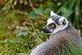 Lemur (26618452557).jpg