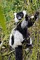 Lemur (26618947017).jpg