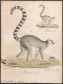 Lemur catta - 1818-1842 - Print - Iconographia Zoologica - Special Collections University of Amsterdam - UBA01 IZ19700032.tif