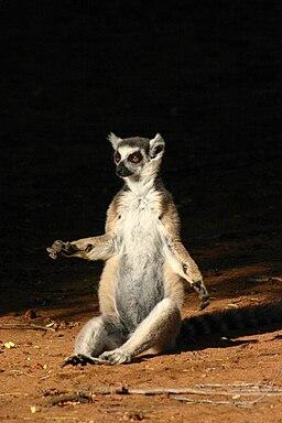 Lemur catta 3