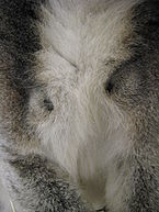 Close-up of the chest of a male ring-tailed lemur showing one black scent gland above each armpit