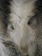 Close-up do peito de um lemur anel-atado masculino mostrando uma glândula de cheiro preta acima de cada axila