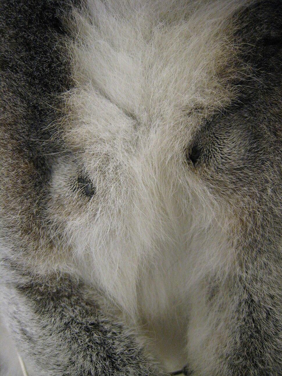 Lemur catta brachial glands
