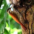 Lepidocolaptes angustirostris-Narrow-billed Woodcreeper.JPG