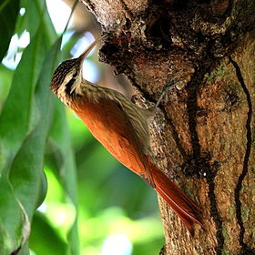 Lepidocolaptes angustirostris-Narrow-billed Woodcreeper.JPG
