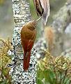 Lepidocolaptes souleyetii (Trepador campestre) (16531603455).jpg
