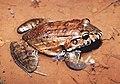 Leptodactylus labyrinthicus07.jpg
