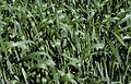 Les Plantes Cultivades. Cereals. Imatge 151.jpg