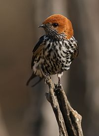 Lesser Striped Swallow, Cecropis abyssinica at Pilanesberg National Park, South Africa (29733259286).jpg