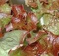 Lettuce Anubi.JPG