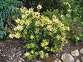 Leucadendron sessile bush.jpg