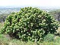 Leucospermum conocarpodendron - Table Mountain 10.JPG