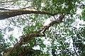 Lianes au jardin botanique de l'UAC.jpg