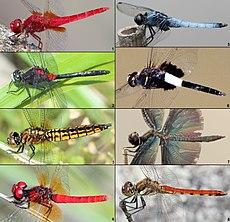 Libellulidae (Japan).jpg