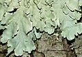Lichen (Lobaria amplissima) (8580678286).jpg