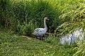Liebiadziny reserve (Belarus) 34 — Swan.jpg