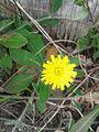 Liether Kalkgrube 140506 8 Kleines Habichtskraut.jpg