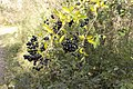 Ligustrum vulgare fruits - Île de la Table-Ronde.jpg