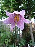 Lilium amoenum.jpg