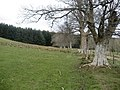 Line of Trees above Harehope Farm - geograph.org.uk - 779031.jpg