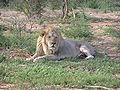 Lion lying 2.jpg