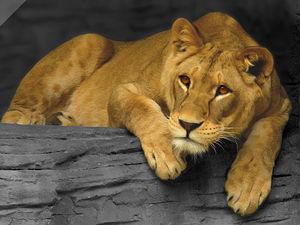 Lvice v olomoucké zoo na Svatém kopečku.